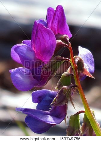 Deliciously fragrant purple sweetpea flowers growing wild in the dunes along the Washington coast.