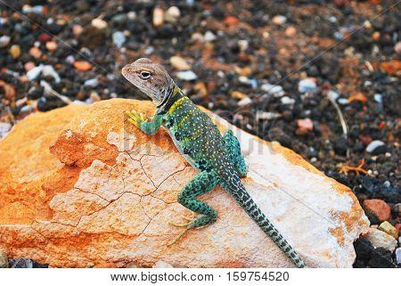 multicolor reptilian lizard animal on cracked light orange rock