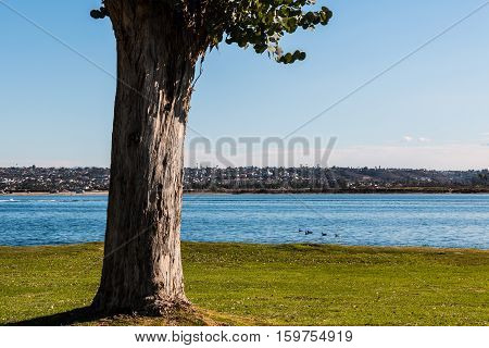Tree at Ski Beach Park in San Diego, California with Mission Bay in the background.