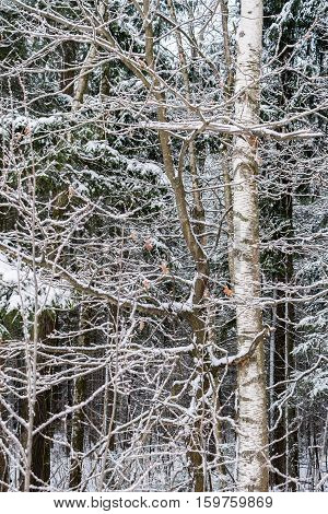 Snow-covered birch branches closeup in winter forest