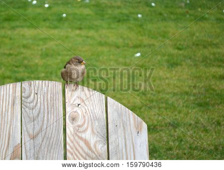 Auburn sparrow sitting on the wooden back of a chair or a fence. Looks to the right