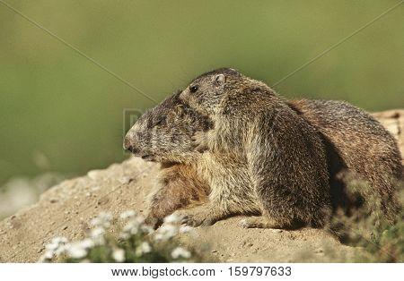 Female Marmot with cub