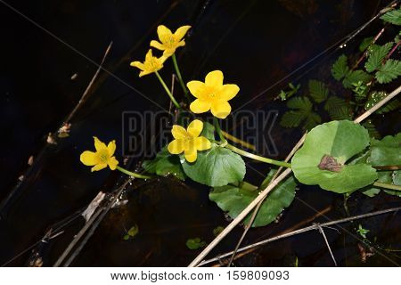 Yellow Water Buttercup blooming at night - springtime.