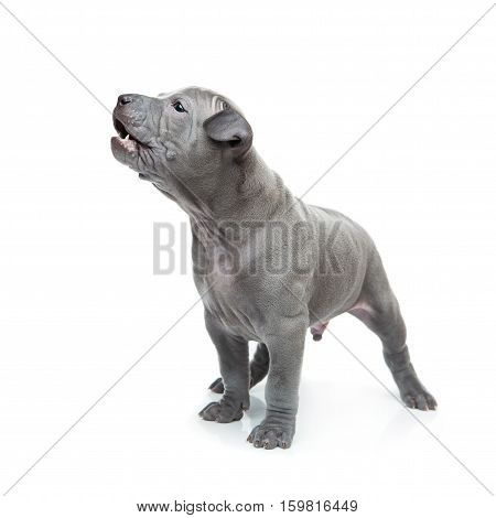 One month old thai ridgeback puppy dog standing. Isolated on white. Copy space.