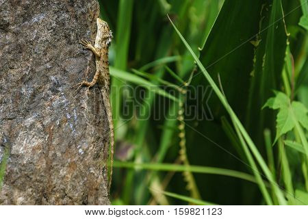 chameleon climbing the stone with a green grass forest background.