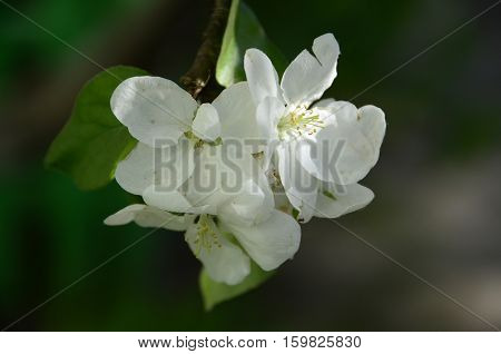 Horizontal photo of macro white flowers with green leaves