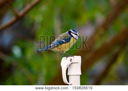 Cute cyanistes caeruleus bluetit bird perched on a pole in a garden