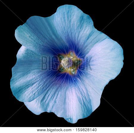 Turquoise-blue flower bell on black isolated background with clipping path. Closeup. no shadows. For design. Nature.