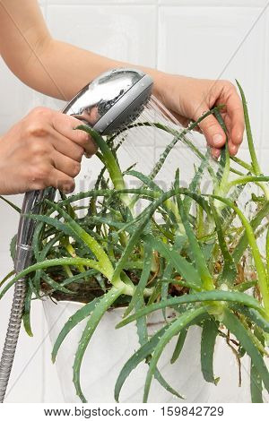 hands pouring from the shower aloe plant to clean and hydrate it