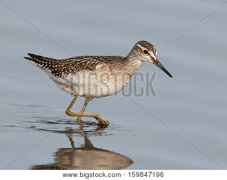 Wood Sandpiper looking for food in water in its habitat