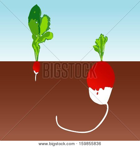 Scalable vectorial image representing a large and small radishes background.