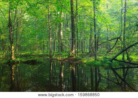 Summertime  Broadleaved Stand With Standing Water