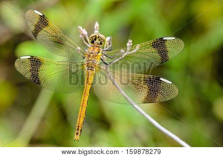 Dragonfly Perched On A Branch For Rest