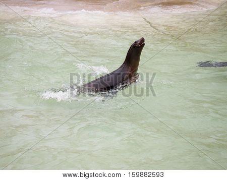 Seals swiming in the freezing big pool of zoo in Berlin