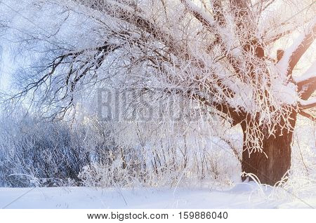 Winter landscape with frosty winter tree in the sunrise beams. Snowy winter picturesque scene in early winter morning with soft sunshine- winter forest in the sunrise