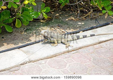 Leguan on Aruba island in the Caribbean