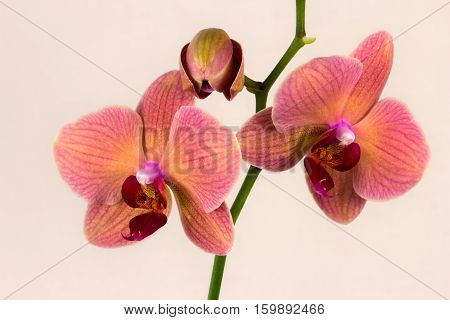 Close-up of multicolor orchid flower. Zen in the art of flowers. Macro photography of nature.