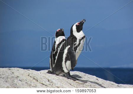 A pair of penguins on Boulders Beach in Simon's Town on Cape Horn in South Africa near the southernmost point of the continent.