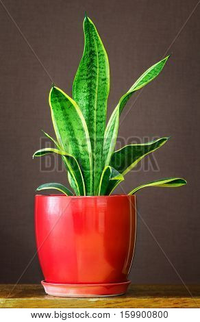 Sansevieria trifasciata in a red flowerpot. Sansevieria trifasciata may be also called mother-in-law's tongue devil's tongue jinn's tongue bow string hemp snake plant and snake tongue.