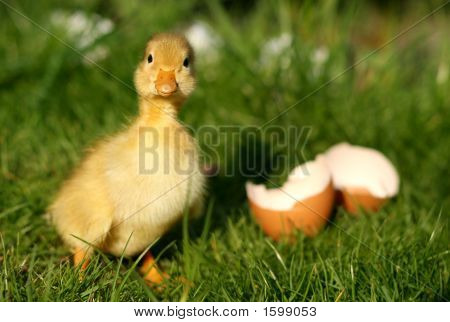 Duck And Broken Egg