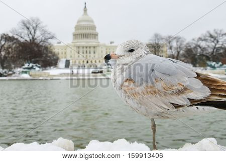Washington DC in winter - A seagull poses in front of the Capitol Building