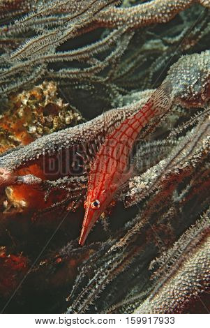 Mozambique, Indian Ocean, longnose hawkfish (Oxycirrhites typus) on black coral (cirrhipathes sp.), close-up