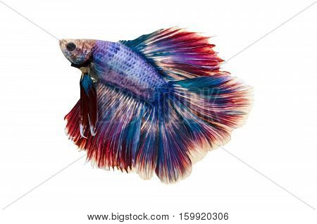 Capture the moving moment of white siamese fighting fish isolated on white background. Betta fish
