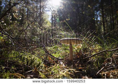 Birch bolete growing in the woods in Sweden