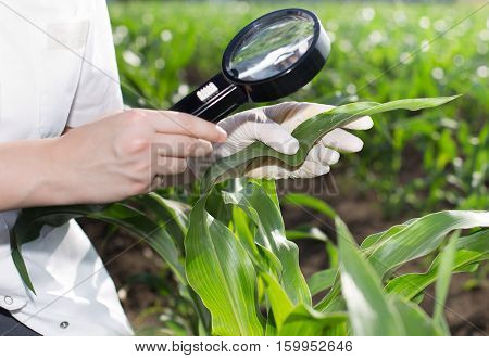 Close up of young female agronomist in white coat holding magnifying glass and checking leaf of corn in the field
