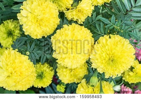 Beautiful Marigold yellow flowers in the garden
