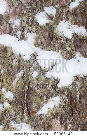 The Bark Of Tree With Snow