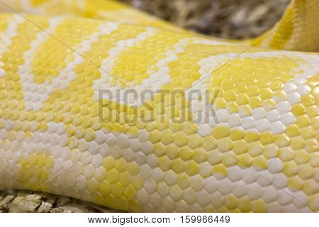 Closeup image of skin scales of an albino reticulated python.