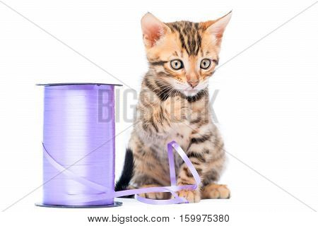 Purebred Bengal Kitten And A Coil Of Rope In Isolation