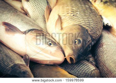 Carps fish - fish caught on a fishing table