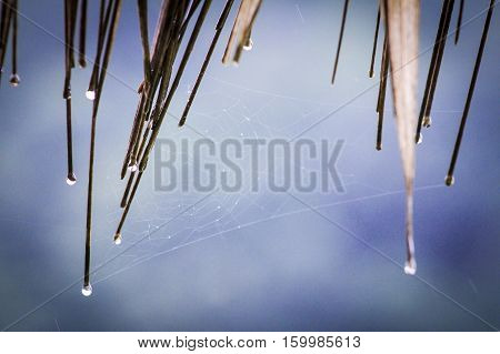 The rain drop on the thatched roof and cob web