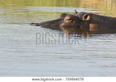 Hippopotamus Wallowing in River