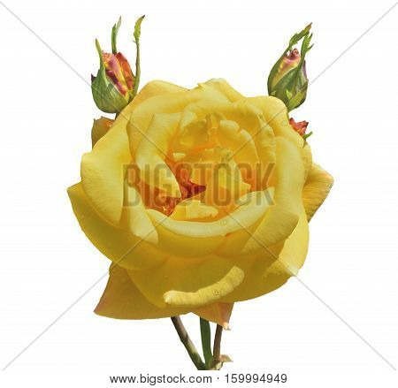 A close up of the flower yellow rose with raindrops on petals. Isolated on white.