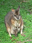 stock photo of tammar wallaby  - tammar wallaby - JPG