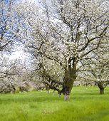 stock photo of apple tree  - apple cherry tree garden in white flower in spring - JPG