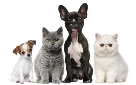 stock photo of cat dog  - Group of dogs and cats in front of white background - JPG
