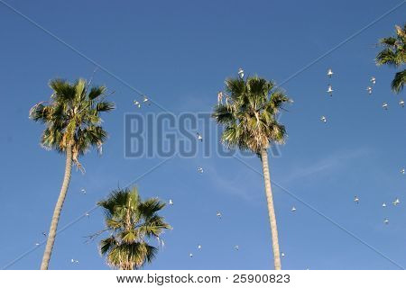 sea gulls fly past tall palm trees in the winter sky of southern california at the beach