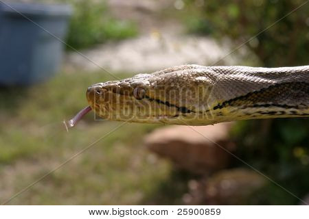a Reticulated Python test its surroundings with its forked tounge