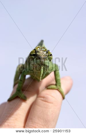 "a female "" Four-Horned Chameleon"" (chamaeleo quadricornis)  sits on my fingers while I take her picture against a blue sky (females do not have horns on this species)"
