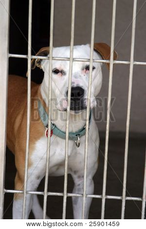 pit bull sits in his cage at the animal shelter