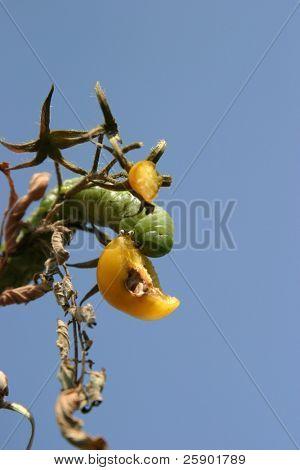 a Tomato Horn Worm Caterpillar, (Manduca quinquemaculata) eats a Yellow Plum Tomato
