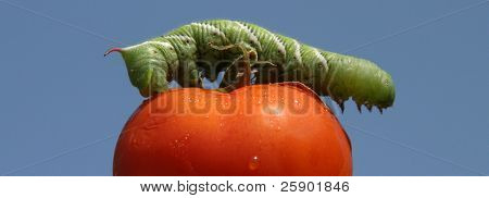 a Tomato Horn Worm Caterpillar, (Manduca quinquemaculata) dines on one of my Home Grown Red Tomatoes on a blue sky background!