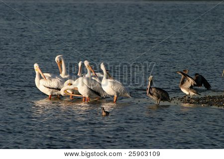 White Pelicans in the bolsa chica wetlands