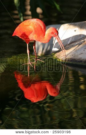 """Scarlet Ibis""  ""Eudocimus ruber"" stands at the edge of water with its reflection"