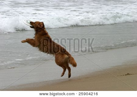 a beautiful golden retriever runs and plays on the Dog Beach area of Huntington Beach aka Surf City