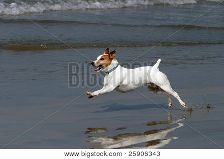 a Jack Russell Terrier Runs, Jumps, and plays on a beach series